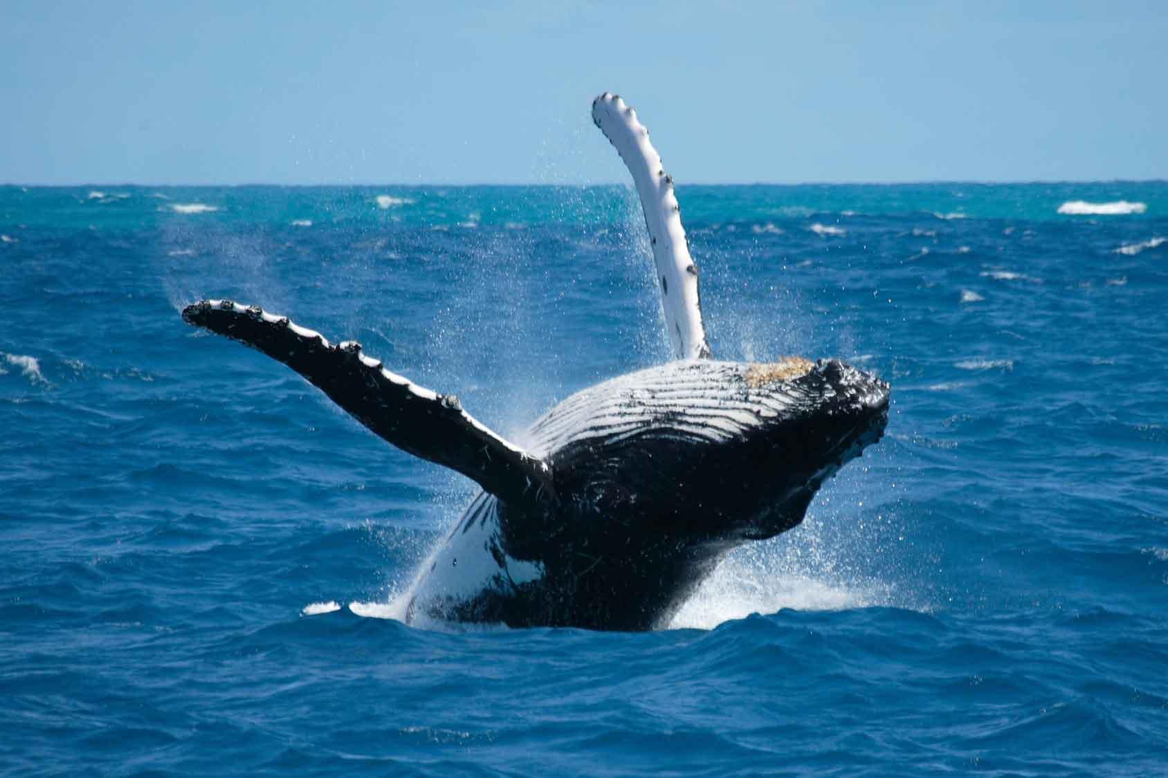 Les Açores, l'un des plus grands sanctuaires de baleines au monde, 24 différents genres de cétacés.