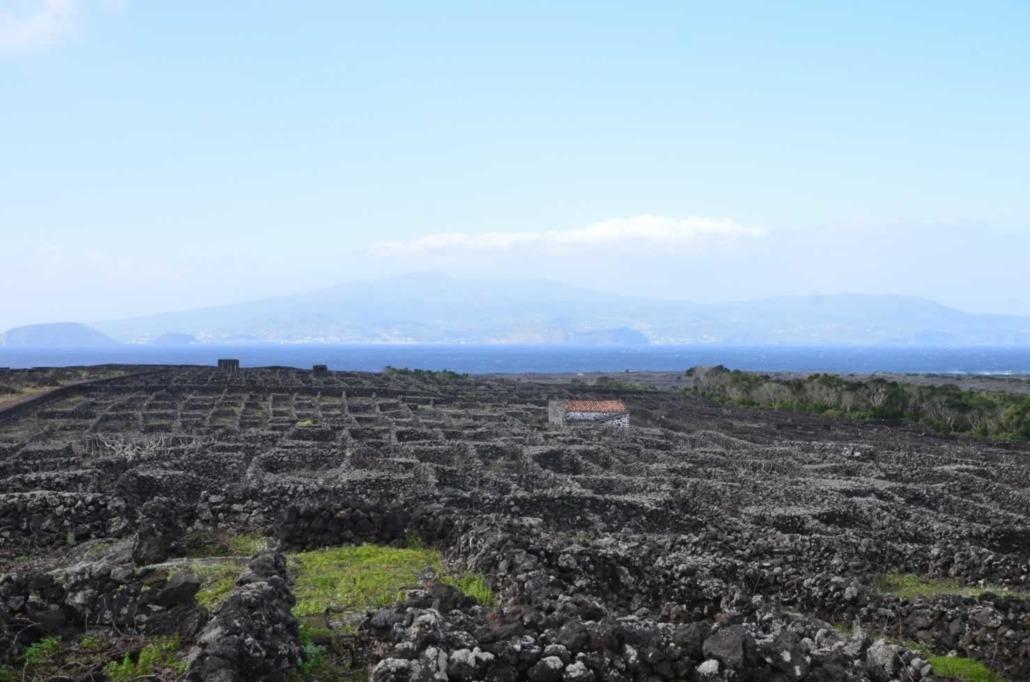 Vignoble de Pico cultivé sur un sol de lave noire et classé Patrimoine mondial de l'Unesco