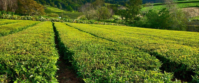 Fameuses plantations de thé, fabriques de Gorreana et Porto Formoso, île de São Miguel