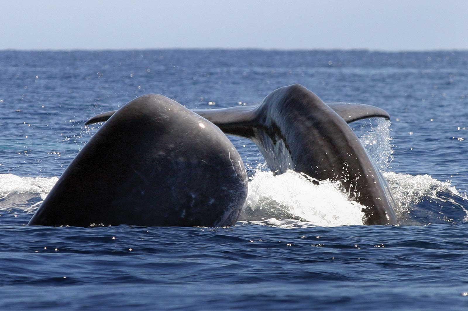 Excursion d'une demi-journée à bord d'un zodiac pour observer les baleines à Pico